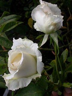 Hybrid Perpetual Rose Rosa Magnolija Ussr 1940 Bred By Nikolai Danilovich Kosteckij Ussr Former 1940 Hybrid Perpetu Schone Rose Stauden Rosensorten