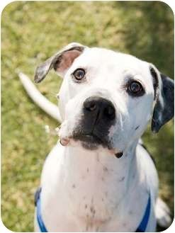 Spike Dalmatian Greyhound Mix Male Neutered Houset Rained Up To Date With Shots And Not Good With Dogs Got Left Behi Kitten Adoption Pets Dalmatian Mix