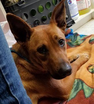 Scooby Urgent Valley Oak Spca In Visalia Ca Adopt Or Foster