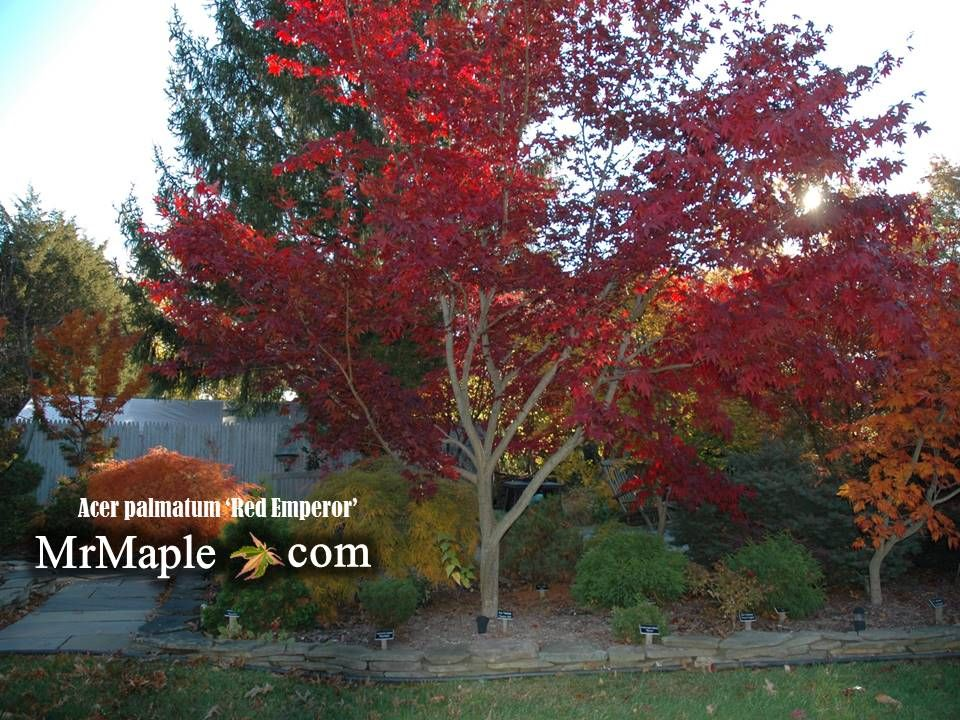 Pin By 35north Landscape Services On Japanese Maple Trees Acer