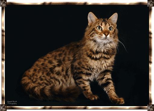Brown Long Hair Bengal Queen Bengal Cat Cats Pretty Cats