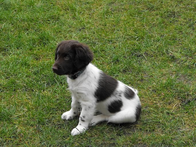 heidewachtel pup | munsterlander | puppies, dogs, animals