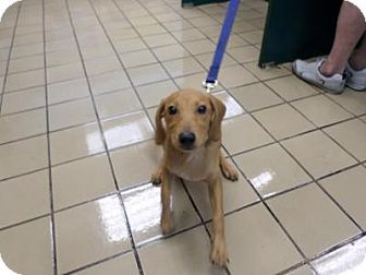 Florida Urgent Zavier Id A1704182 Is A Neutered Vizsla Mix Puppy In Need Of A Loving Adopter Rescue At Vizsla Kitten Adoption West Palm Beach Florida