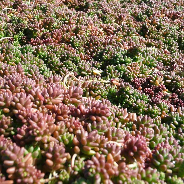 Drought Resistant Perennial Groundcover Sedum Album Coral Carpet