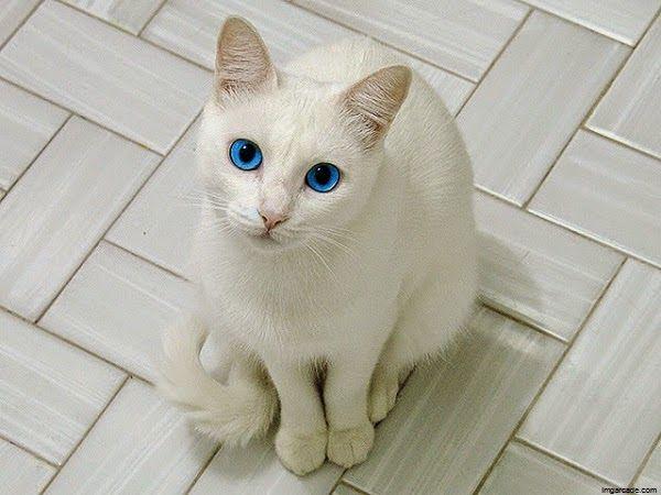 photo chat blanc yeux bleus chat blanc pinterest chat blanc yeux bleus photo chat et. Black Bedroom Furniture Sets. Home Design Ideas