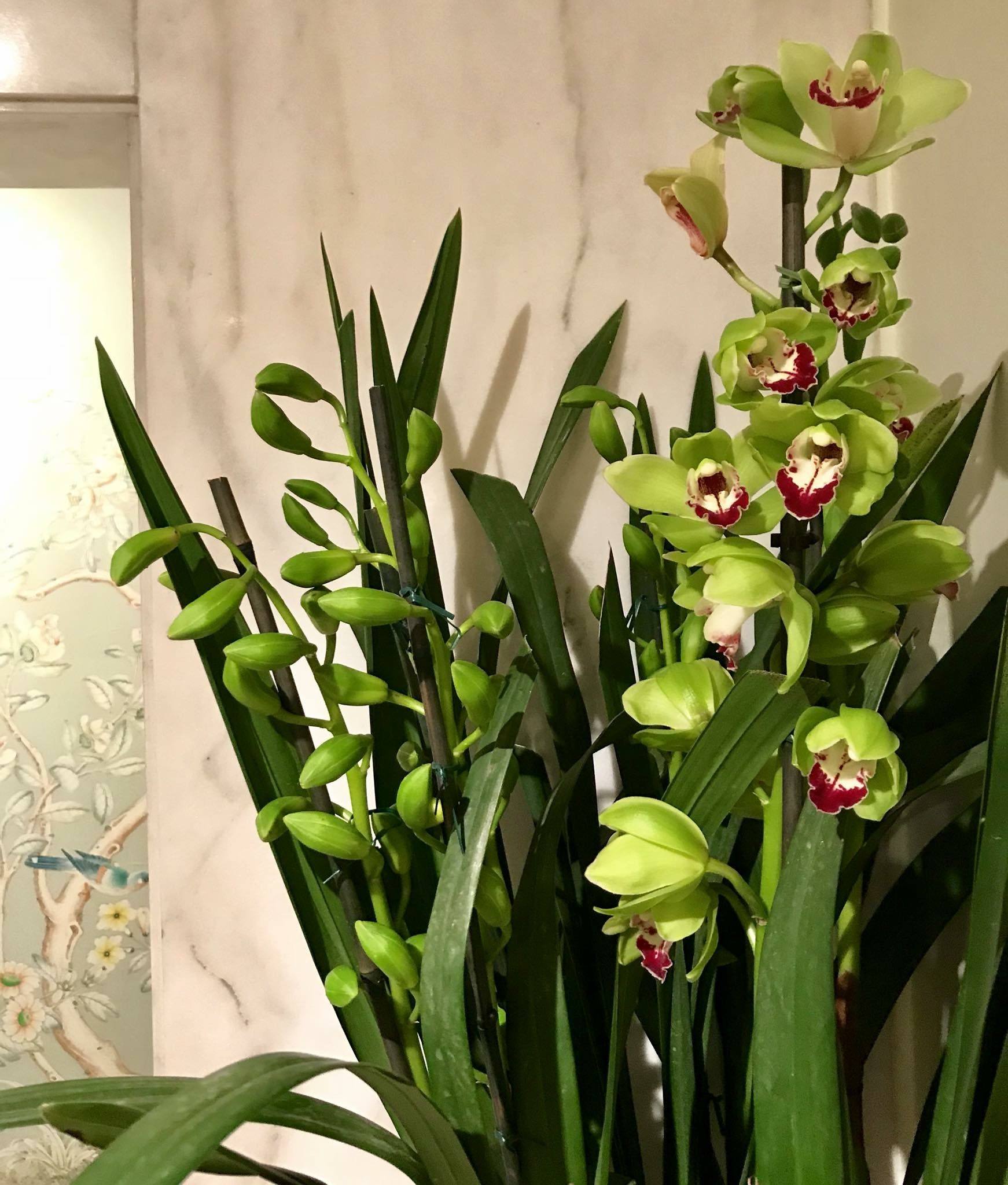 My Beautiful Cymbidium Orchid S Are Blooming And They Are My Favorite Type Of Orchid Orchid Seeds Orchids Types Of Orchids