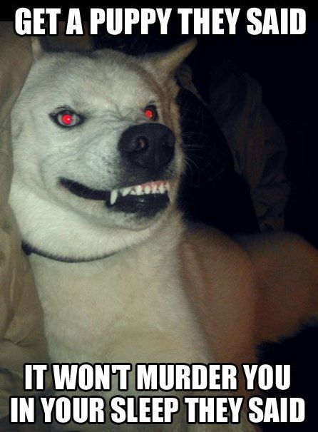 My Evil Dog Funny Husky Meme Getting A Puppy Dog Quotes Funny