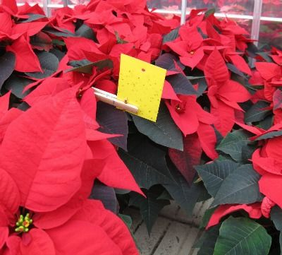 Whitefly pressures were low this year at the  Vineland Poinsettia Trials.