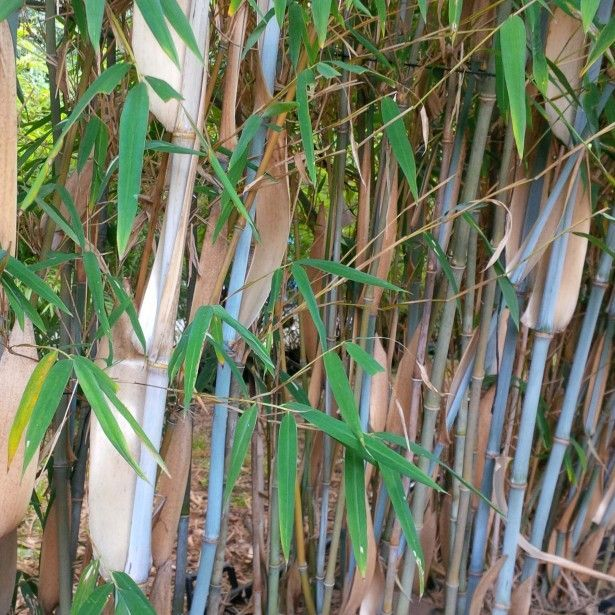 Fargesia Papyrifera Bambou Bleu Non Tracant Gone Bamboo