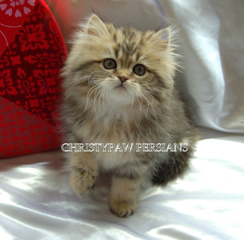 Golden Persian Kittens For Sale Christypaw Persians Persian Kittens For Sale Persian Kittens Kitten For Sale