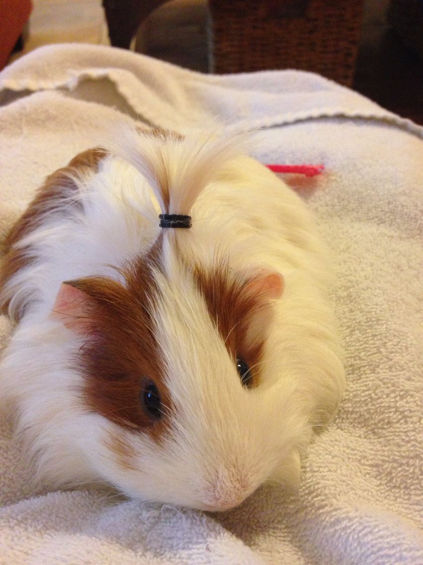 Beatrix silkie guinea pig in her ponytail to train her mane Silkie ...