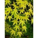 Acer Japanese Maple Tree - Skeeters Broom #japanesemaple Acer Japanese Maple Tree - Skeeters Broom #japanesemaple Acer Japanese Maple Tree - Skeeters Broom #japanesemaple Acer Japanese Maple Tree - Skeeters Broom #japanesemaple
