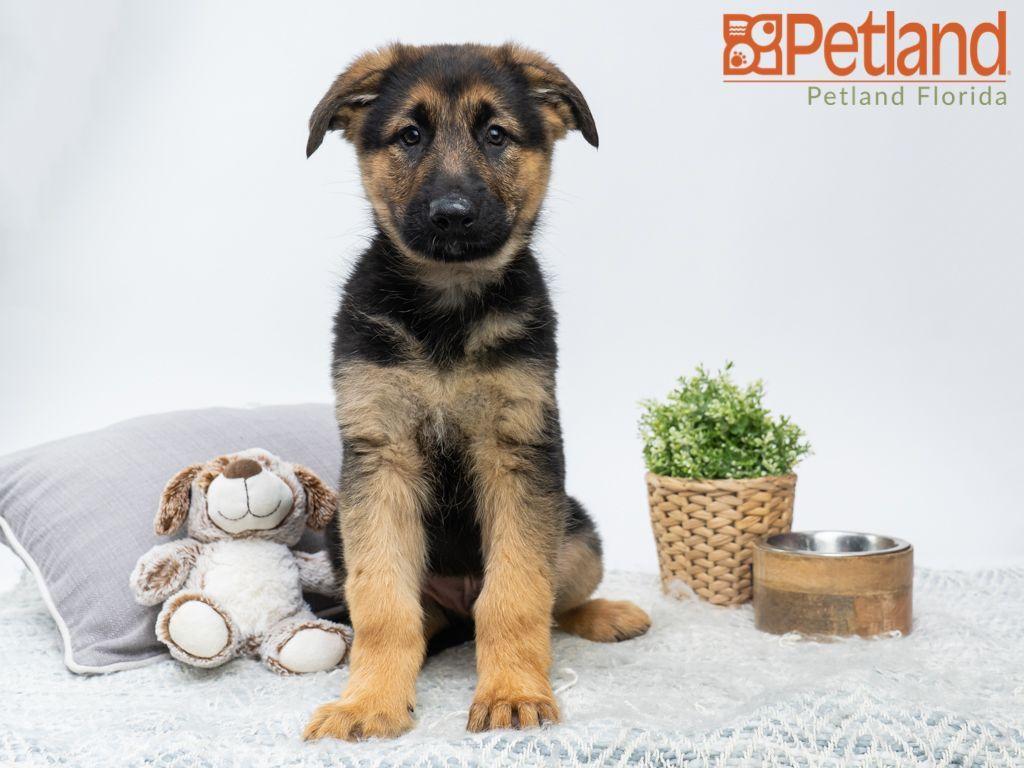 Meet Ares The German Shepherd Germanshepherd Petlandpembrokepines Petland Petlandflorida Pembrokepines Puppy Doglover Puppy Friends Puppies Dog Lovers Pets