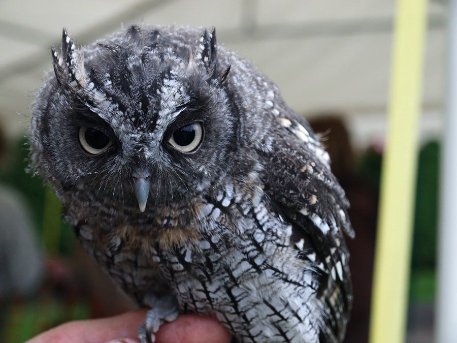 Screech Owl by *LauraDaniel on deviantART
