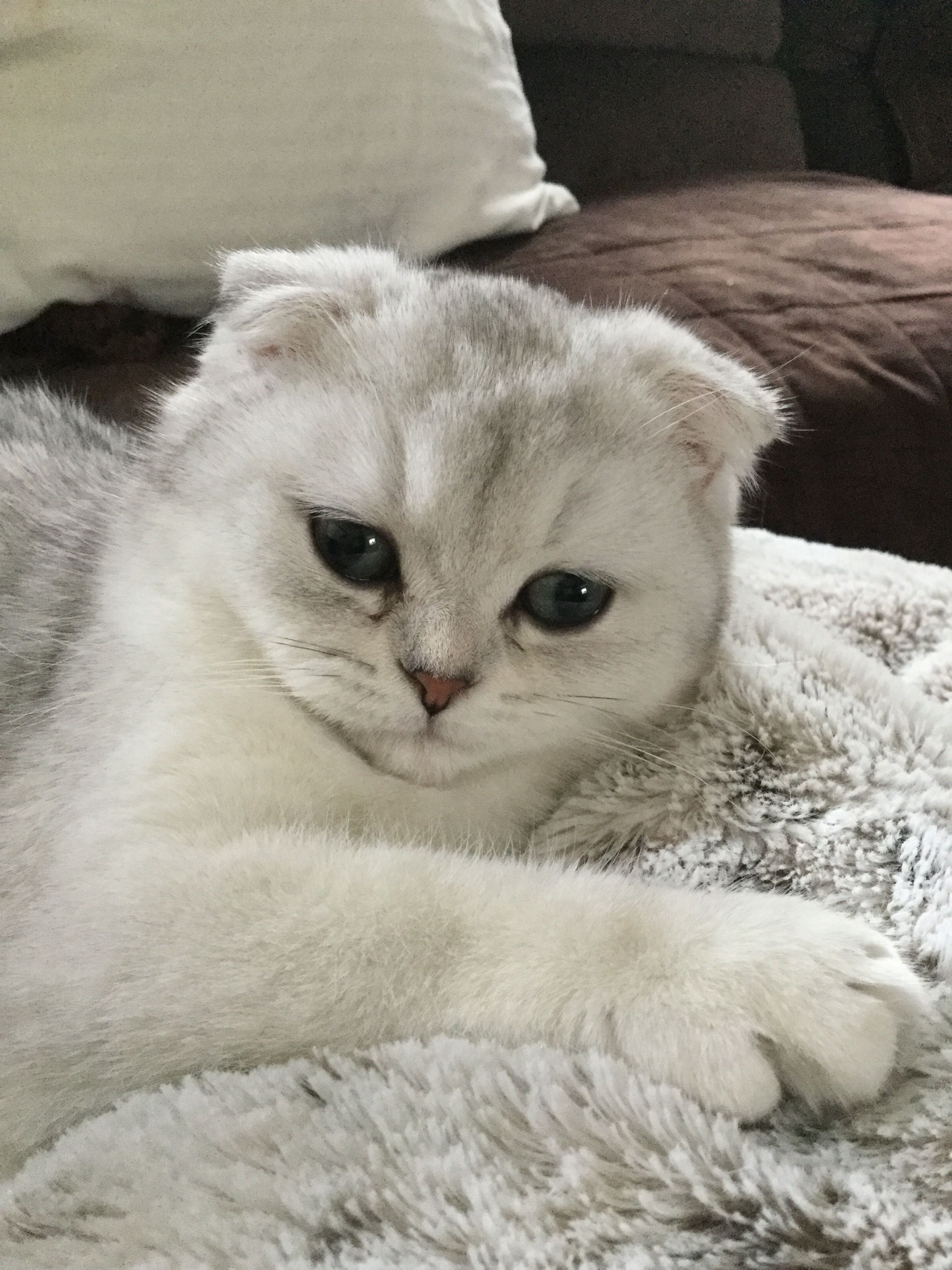 Pin By Jewell Hart On My Scottish Fold Kitten Silver Shaded Chinchilla Cat Mom Scottish Fold Kittens Kitten