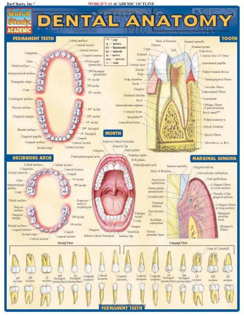 Dental Anatomy Quickstudy Academic Inc Barcharts 9781572228108