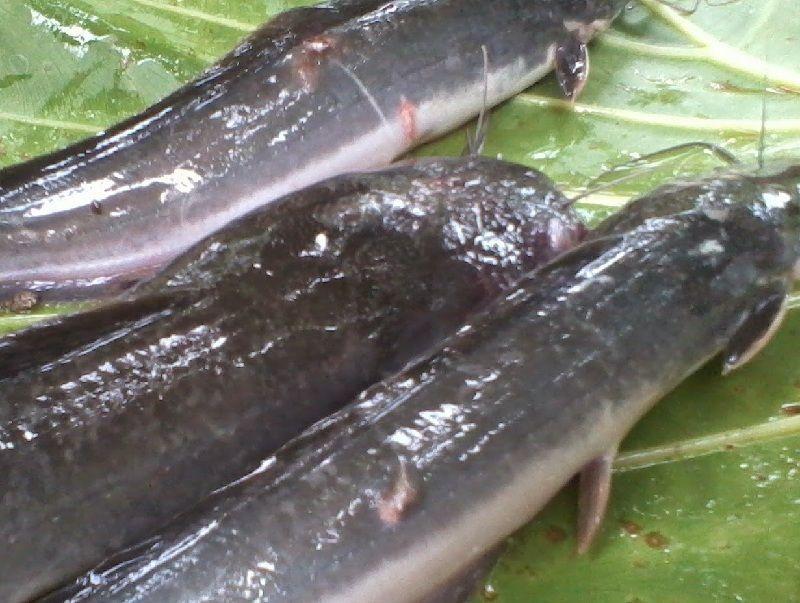 Cara Mengobati Ikan Lele Yang Menggantung Obat Alami Penyakit Ikan