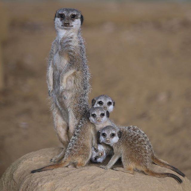 Chibazoo Meerkat ミーアキャットの赤ちゃん 千葉市動物公園 Chibazoo 2017 07 07 16 26 35 Meerkat Animals I Smile