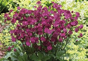 """Zone: 5 - 7Height: 30""""  Class: PerennialSoil Type: Well-drained, humusy, moist soil.  Siting: Sun, Part shadeSpread: 24""""  DESCRIPTION  Clumps grow to 30"""" tall, with beautiful palmate-lobed leaves. Flowers are clustered in papery umbels, with each pincushion, a crown of ruby florets, ringed by showy purplish bracts. Blooms make good cutflowers, with bracts staying showy, well after peak bloom. Once established, plants get very floriferous, with a few hundred blooms each season."""