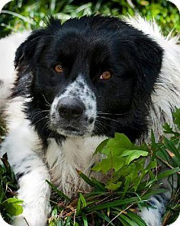 Winter Park Co Border Collie Great Pyrenees Mix Meet Orion A Dog For Adoption Http Www Adoptapet Com Pet 11982882 Border Collie Mix Border Collie Pets