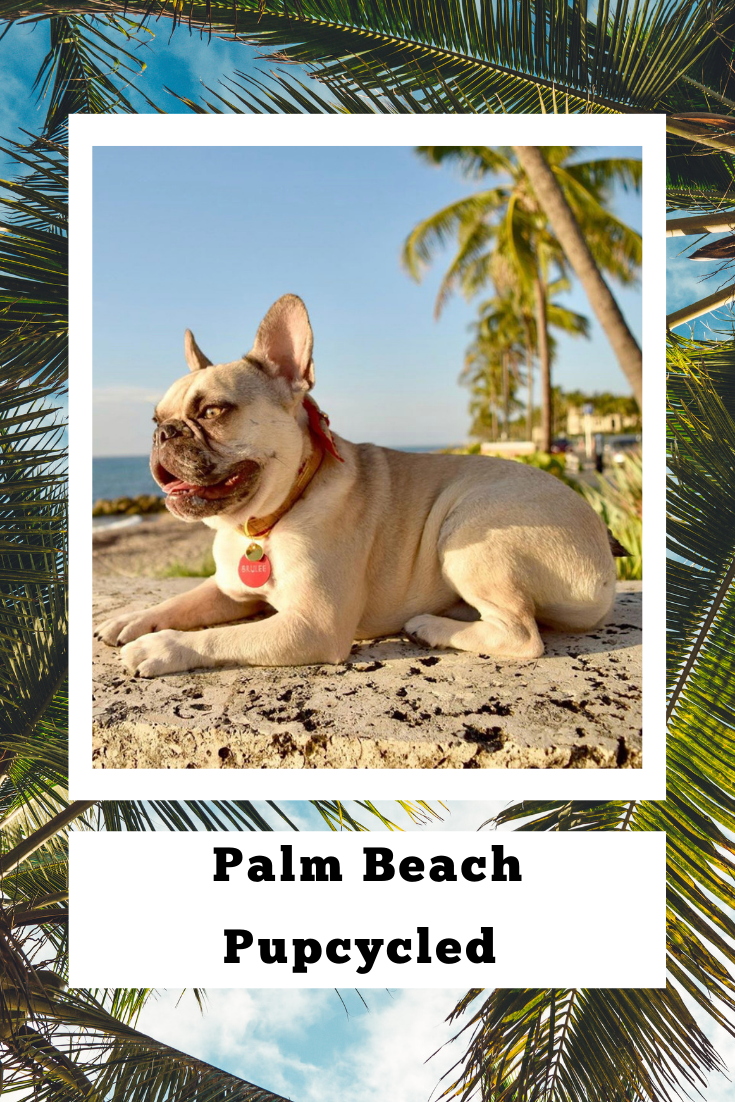 Cute French Bulldog Models Custom Handmade Cork Dog Collar On The Beach In Sunny South Florida Southfloridadogs Frenchb With Images Pet People Plaid Dog Collars Dog Bows