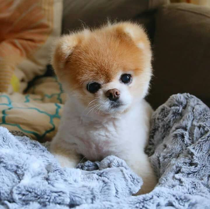 Wonder Dog How Can He Be So Cute Boo The World S Cutest Dog