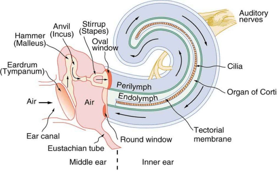 Image result for cochlea and an of corti | Ears