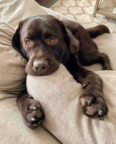 Photo of Cute chocolate labrador 💖