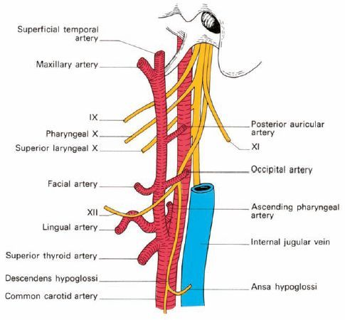 External Carotid Artery And Its Branches Carotid Artery Arteries Internal Carotid Artery