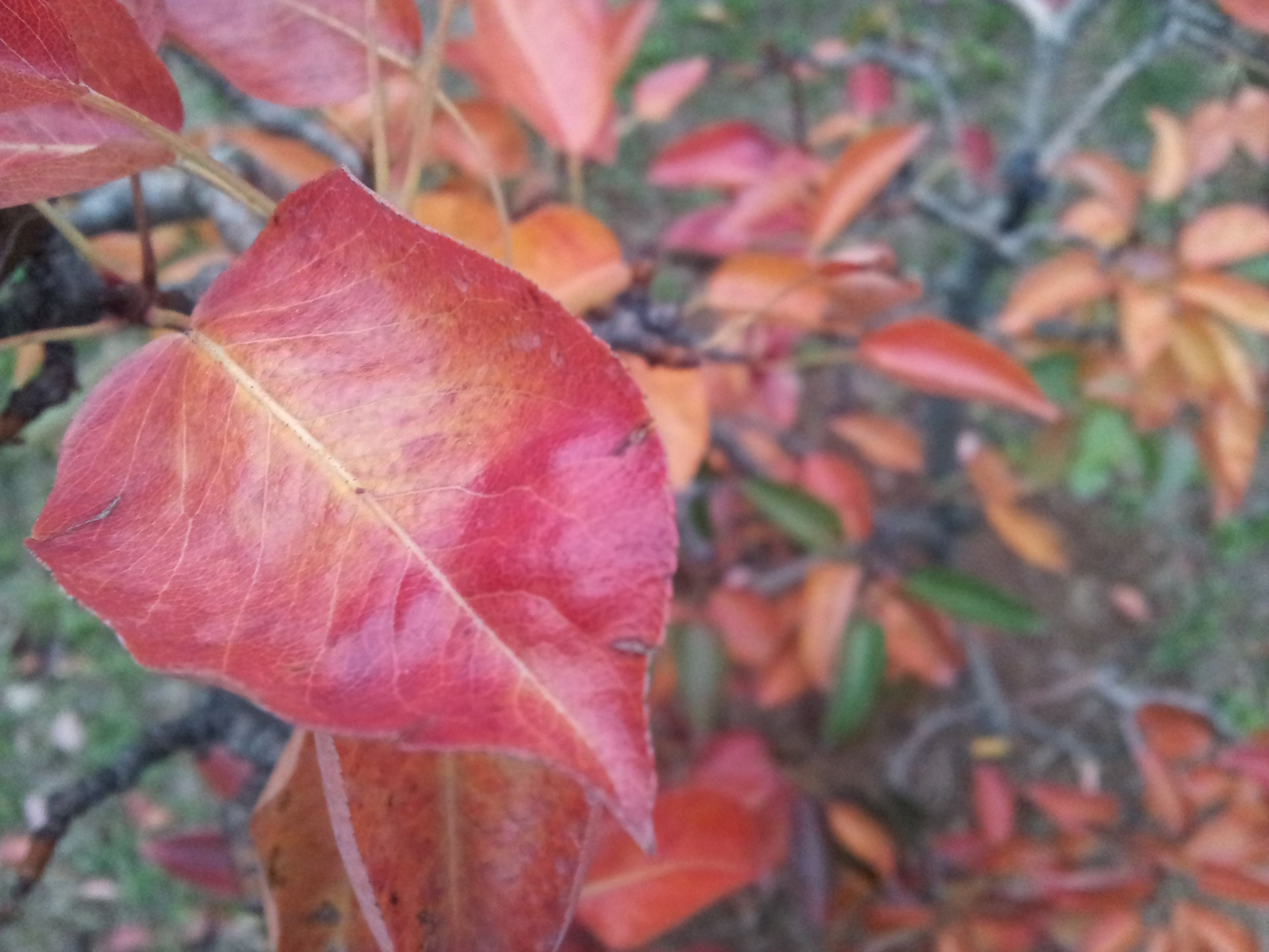 Autumn pear leaves