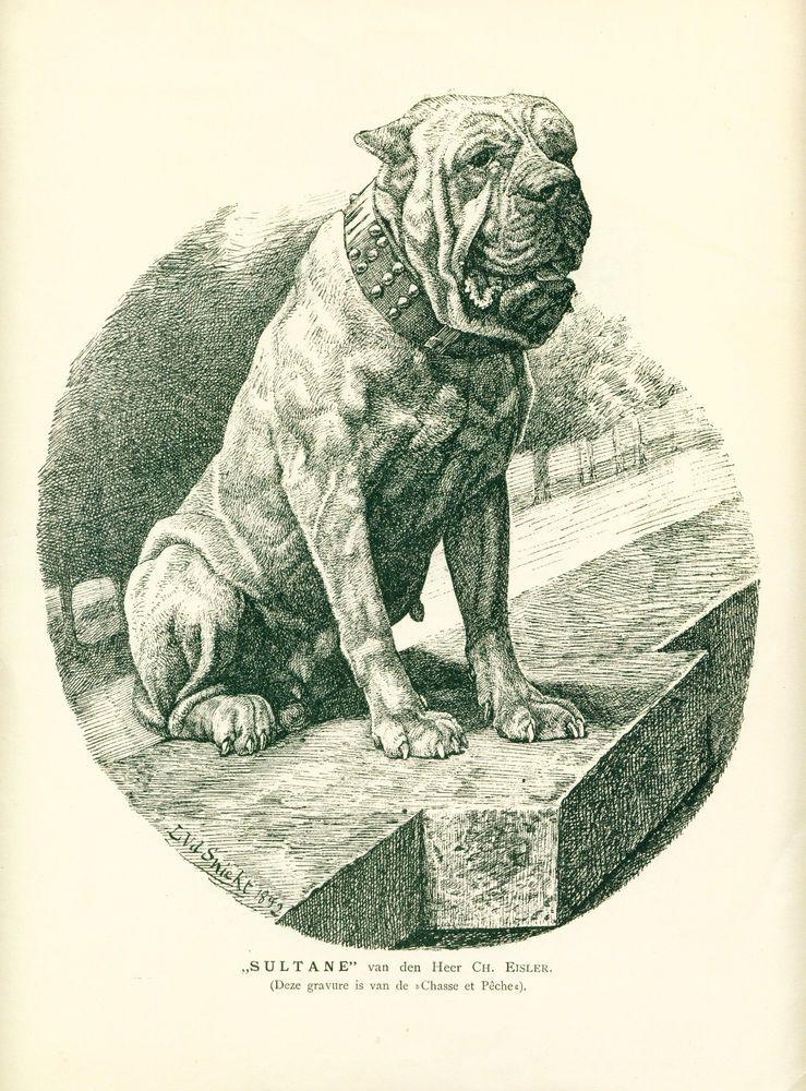 ANTIQUE Dog Print 1904 Dogue de Bordeaux named SULTANE