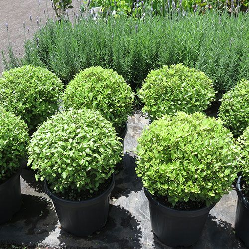 Pittosporum Golf Form A Naturally Rounded Shape