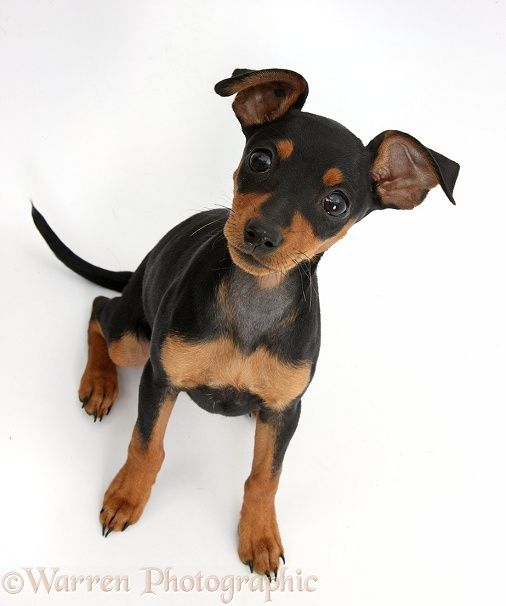 Dog Miniature Pinscher Puppy Looks Just Like My Kenya