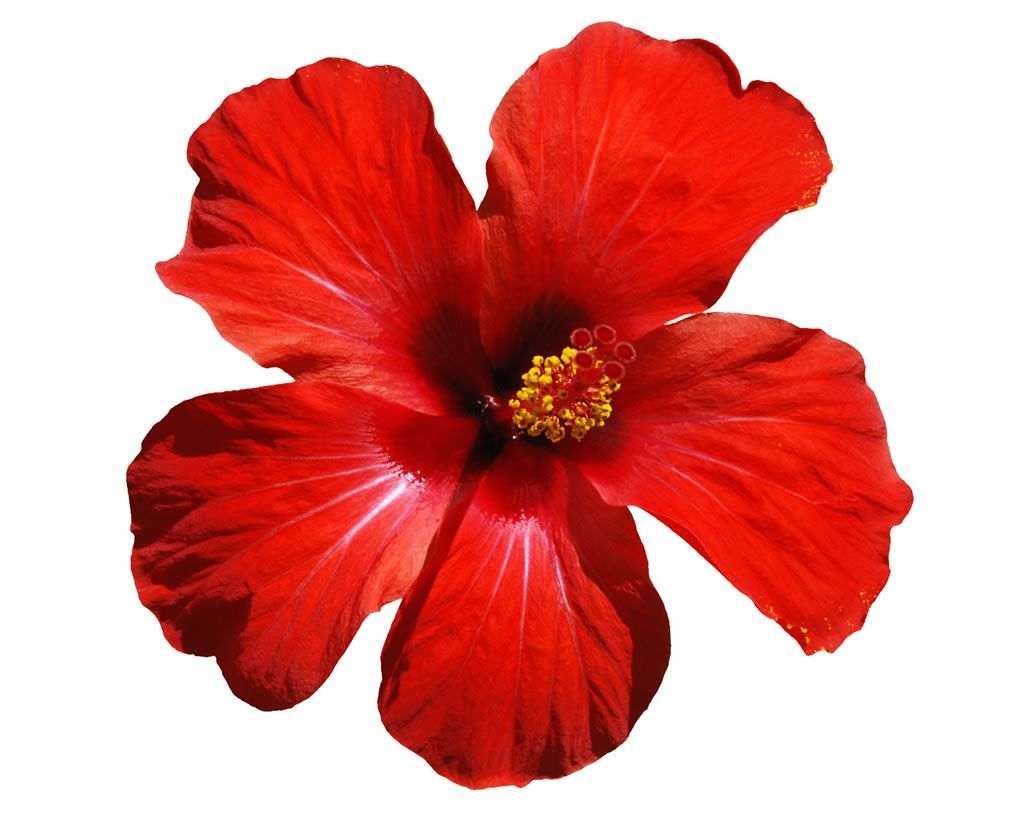 Hawaiian Flowers Bing Images 4th Of July Fun Pinterest