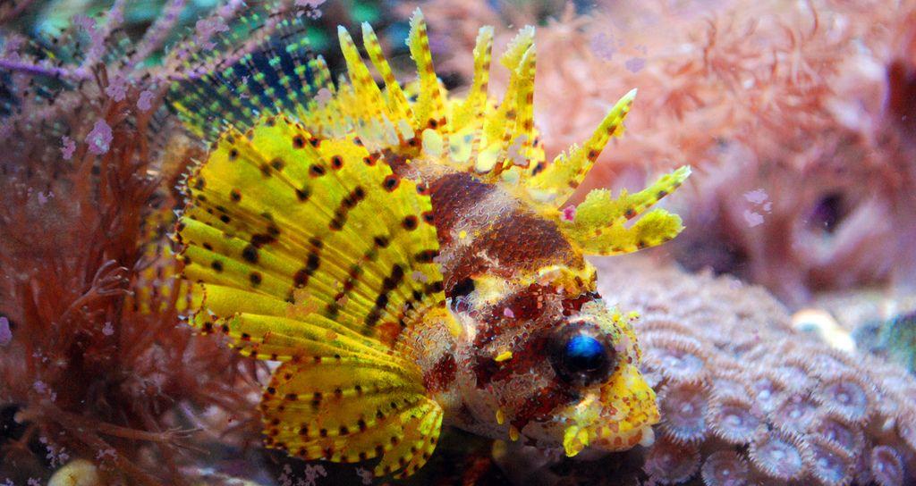 Yellow Dwarf Lionfish Lion Fish Freshwater Aquarium Fish Salt Water Fish