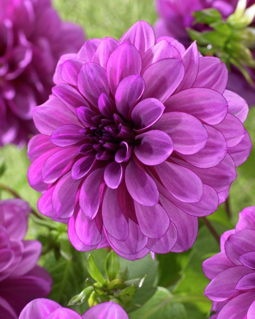 Dahlia Blue Bell Plants Flowers 99roots Flowers