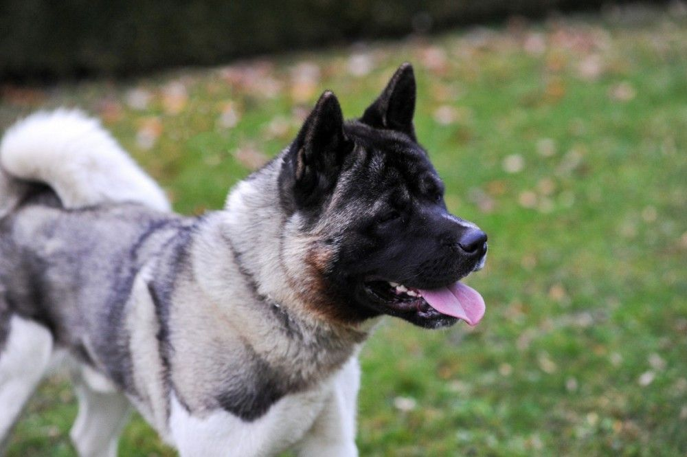 Dog For Sale American Akita American Akita Dogs For Sale Akita