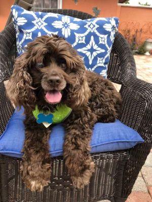 Florida Coastal Cocker Spaniel Rescue Adopt Help Homeless Pets Cocker Spaniel Rescue Dog Adoption