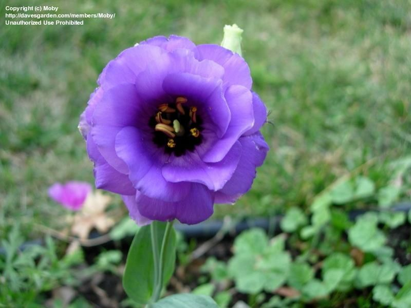 Full Size Picture Of Prairie Gentian Lisianthus Texas Bluebell Echo Blue Eustoma Grandiflorum Lisianthus Bluebells Lavender Flowers