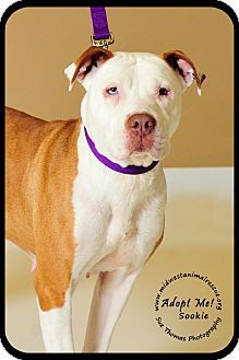 Minneapolis, MN - American Staffordshire Terrier. Meet Sookie-Foster Needed, a dog for adoption. http://www.adoptapet.com/pet/8959330-minneapolis-minnesota-american-staffordshire-terrier