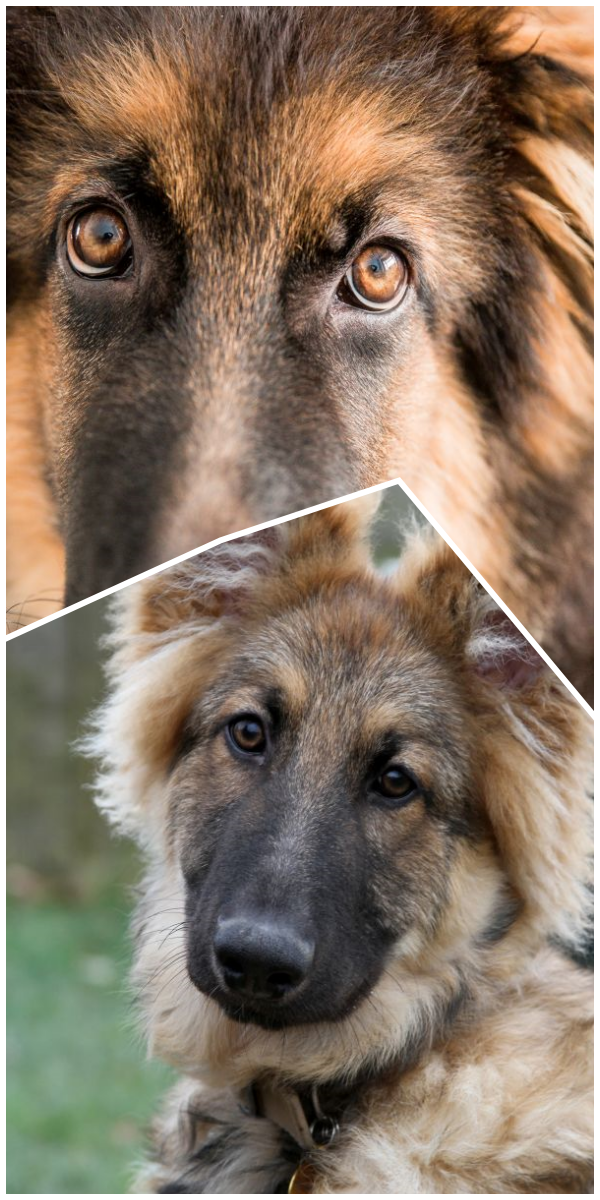 Awesome German Shepherd Rescue Wisconsin German Shepherd Rescue Near Me German Shepherd Dogs German Shepherd Breeders Dogs