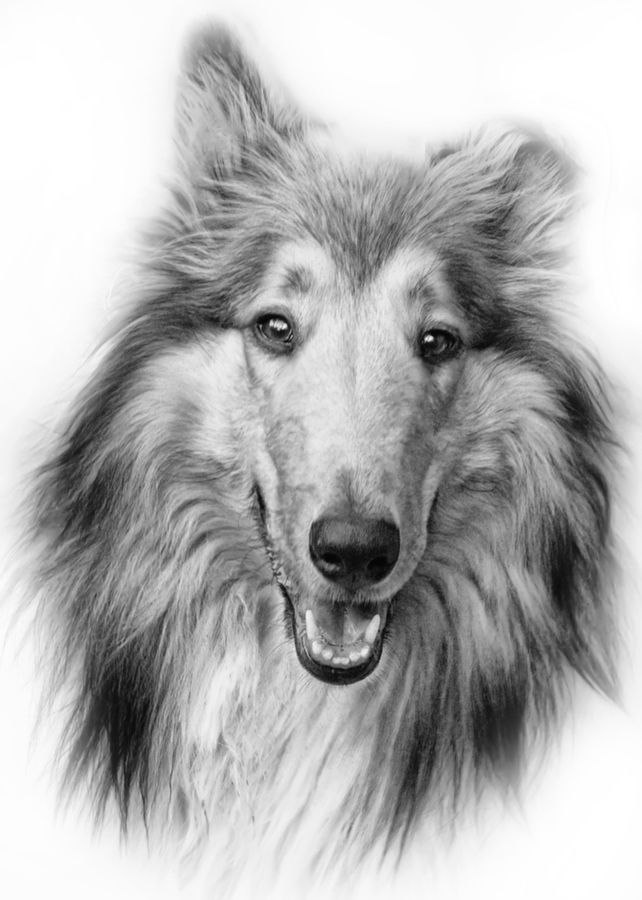 Jesse By Ian Mcconnell Via 500px Dog Sketch Dog Paintings