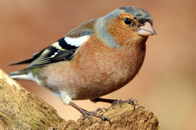 Vogelportrat Buchfink Nabu Buchfink Vogel Im Garten Heimische Vogel