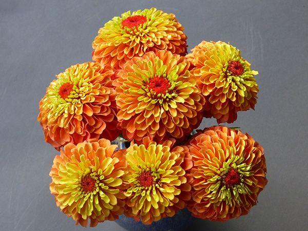 Zinnia Lime Orange Zinnias Heirloom Seeds Flower Farm