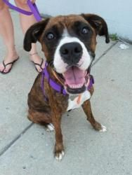 Adopt Izzie Adopted On Petfinder Boxer Dogs Dogs Boxer