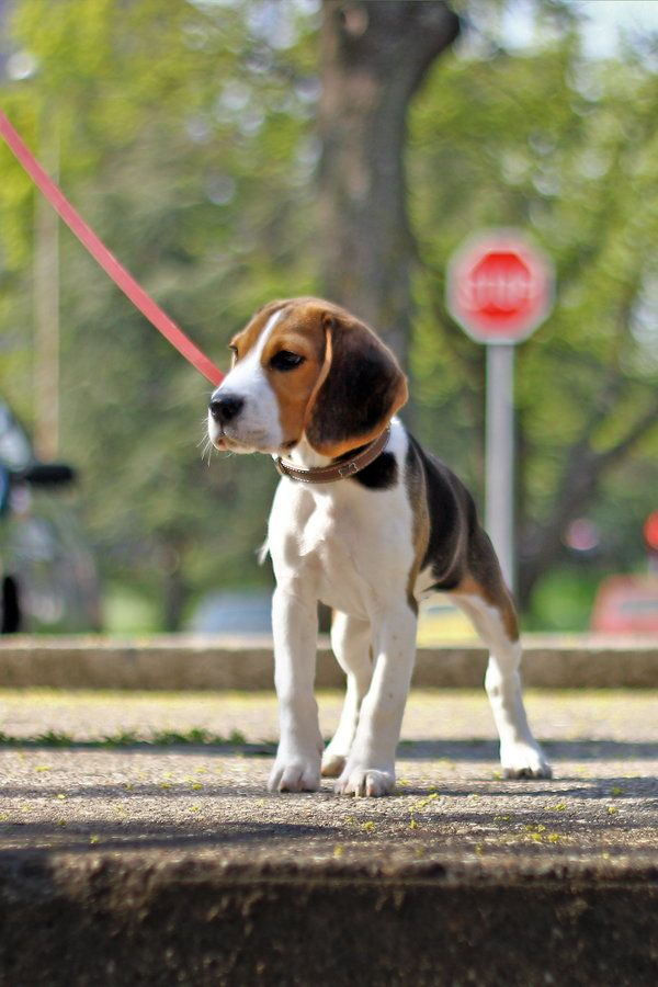 Walking The Beagle Bach With Images Family Dogs Breeds Beagle