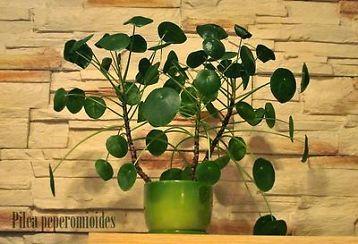 Gekregen: Pilea peperomioides (Pannenkoekplant) of Chinese moneyplant