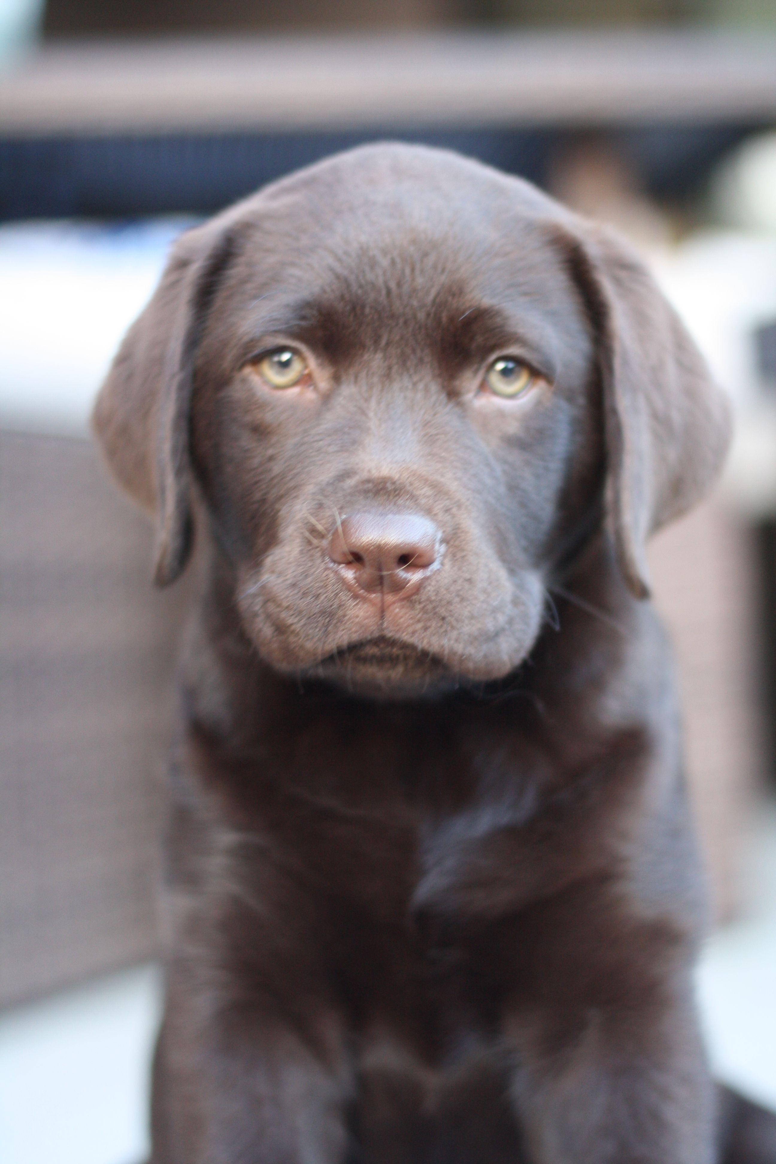 Chocolate Labrador Puppy Chocolate Lab Puppy Missbailey Chocotaco Cocoaloco Labrador Retriever Black Labrador Dog Labrador Retriever Dog