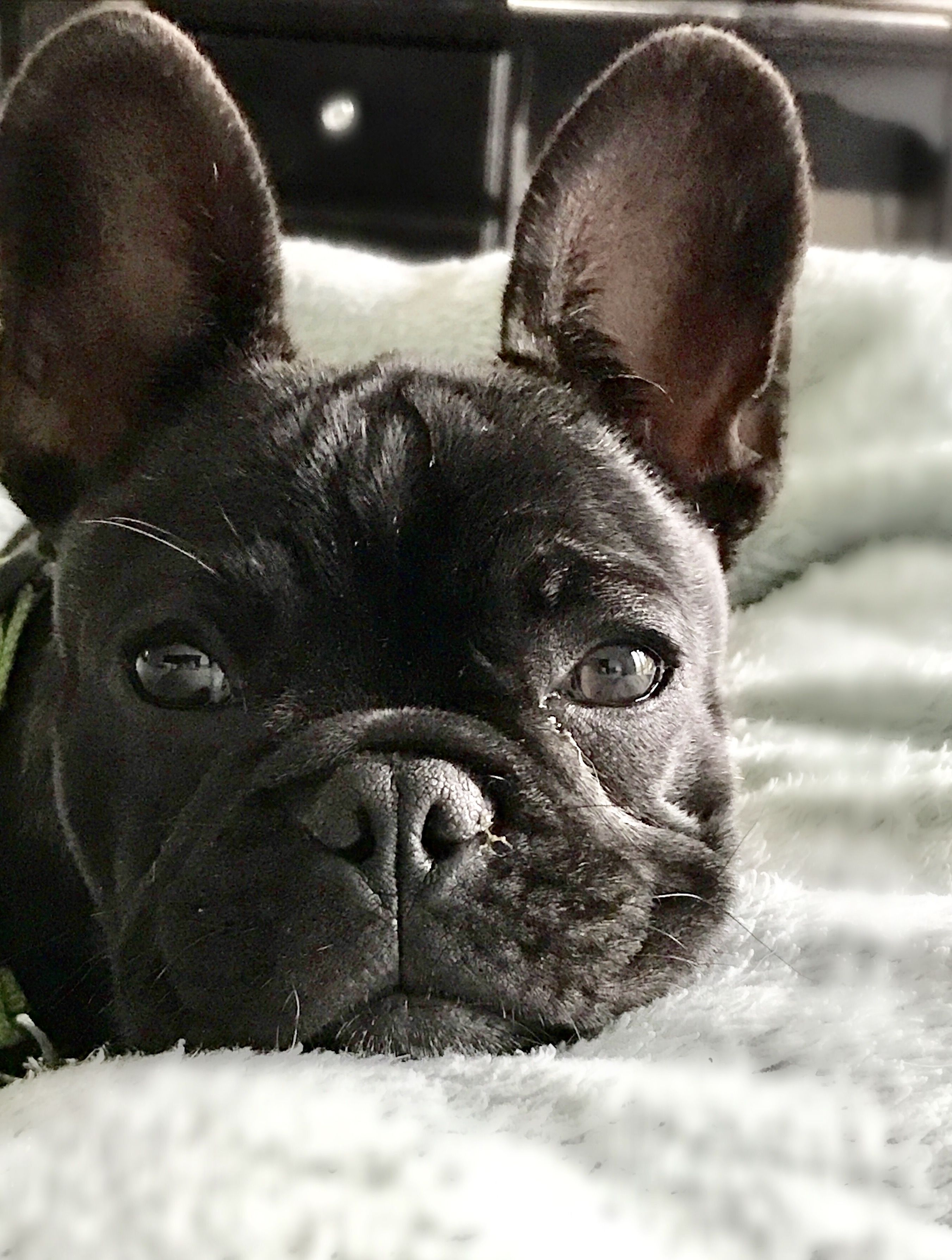 Close Up Cute French Bulldog French Bulldog Bulldog Bulldog Breeds