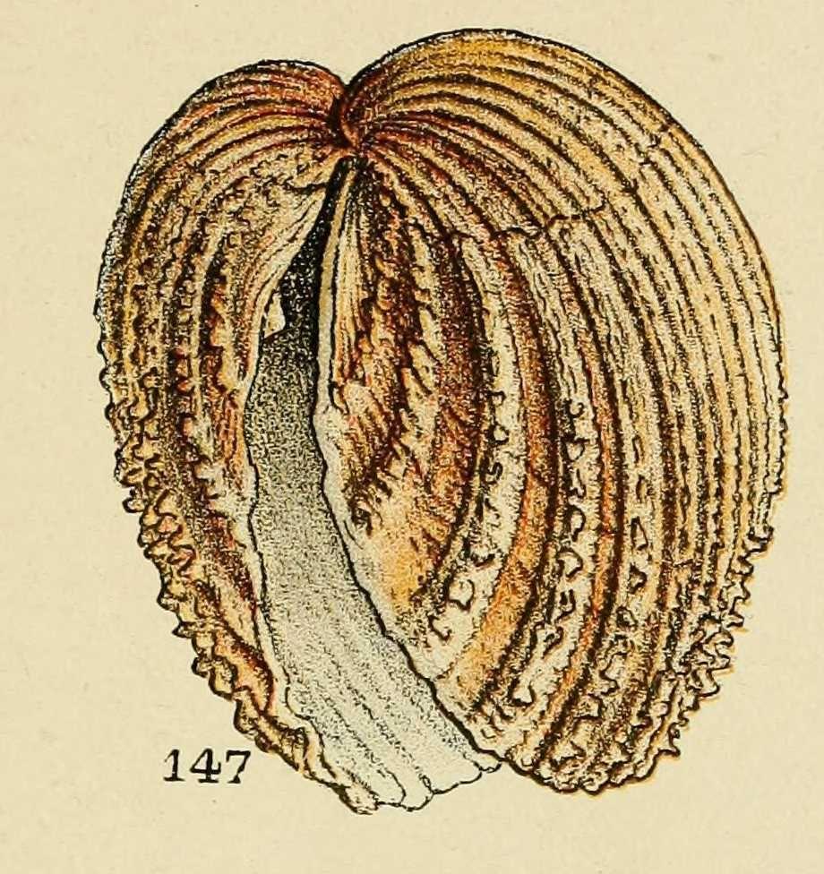 Coquillages Crustaces Coque Rouge Cardium Echinatum Dessin Art Coquillage Coquillage